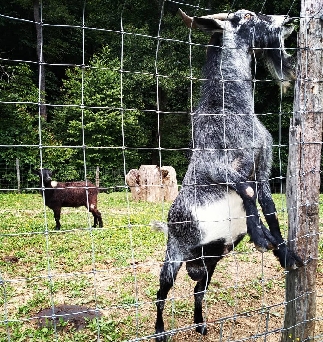 Asheville Things To Do - Hickory Nut Gap Farm - Original Photo