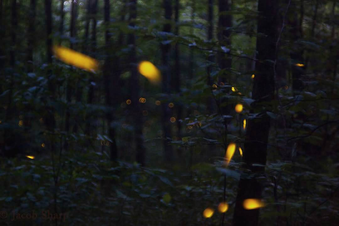 National Park Things To Do - View The Amazing Synchronous Fireflies In The Smoky Mountains - Original Photo