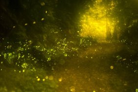 National Park - View The Amazing Synchronous Fireflies In The Smoky Mountains